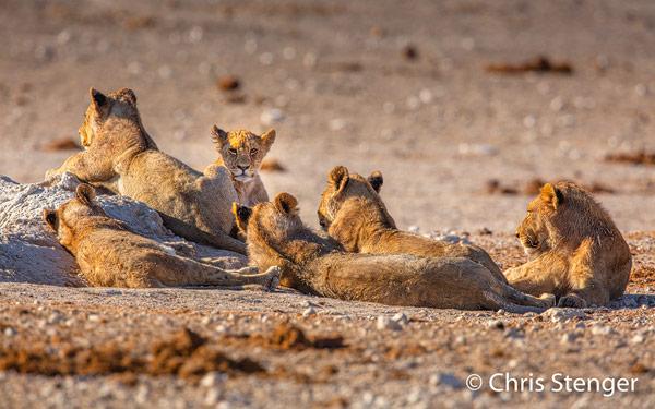 Deze welpen zijn onderdeel van een grote leeeuwen familie. Naast deze welpen een aantal leeuwinnen en twee grote mannetjes leeuwen!