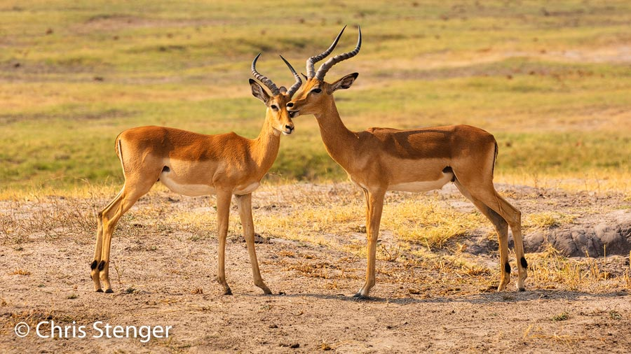 Impala's zijn sociale dieren en het is leuk om hun gedrag vast te leggen. Hier lijkt het alsof ze alkaar kussen, maar waarschijnlijk likken ze zout van elkaars huid. Ik heb dit gedrag vaak gezien bij Impala's. Een paar seconden nadat ik deze foto maakte begonnen ze overigens te vechten.