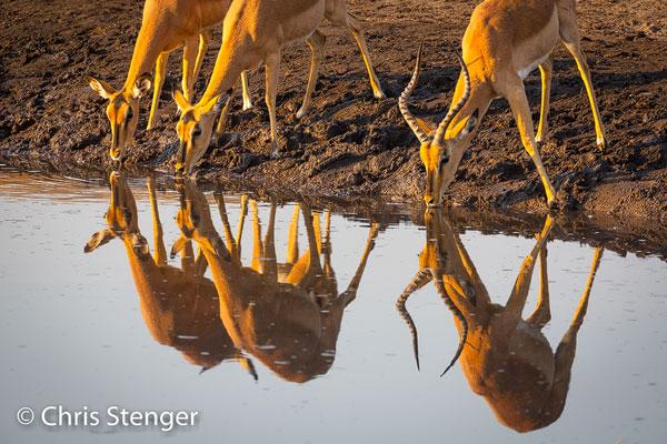 De Black faced impala is een ondersoort van de gewone impala die endemisch is voor Etosha en het noorden van Namibië