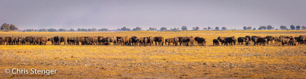 Deze enorme kudde Kaapse buffels, ik schat zo'n 300 dieren, fotografeerde ik in het Bwabwata nationaal park in de Caprivistrip. Er waren leeuwen in de buurt en dat is waarschijnlijk de reden dat de Buffels zo dicht bij elkaar blijven