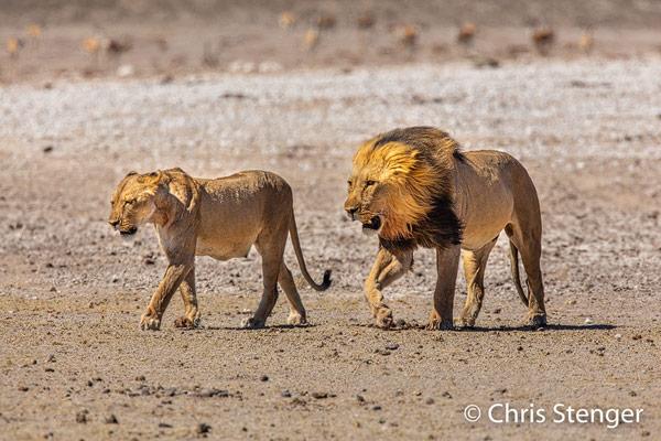 Geen moment wijkt de mannetjes leeuw van de zijde van de leeuwin. Overal waar zij gaat volgt het mannetje haar nauwgezet om te vookomen dat een andere mannetjes leeuw met haar paart.