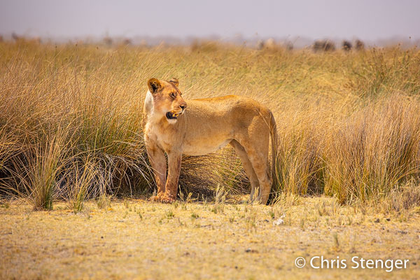 Hier aan de rand van het gras valt deze leeuwin wel op. Zou ze in het gras gestaan hebben dan is ze vrijwel onzichtbaar. Dit laat zien hoe voorzichtig je moet zijn in dit soort omgevingen.