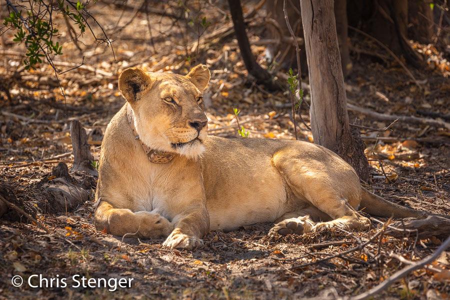 Deze leeuwin fotografeerde ik in het Bwabwata nationaal park in de Caprivistrip. Het dier is voorzien van een halsband met zender en kennelijk zijn de leeuwen in dit nationale park onderwerp voor onderzoek