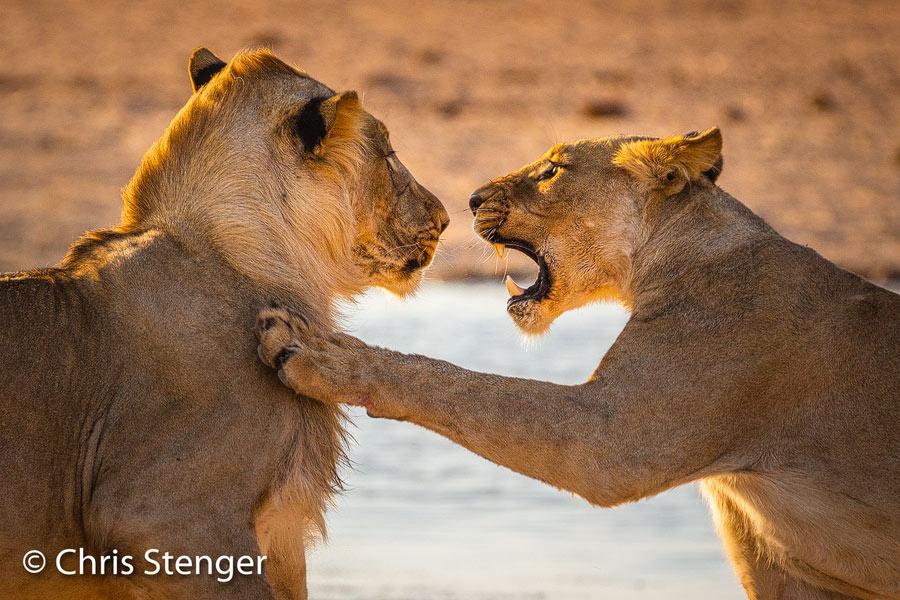 Eén van de vele foto's die ik maakte in het Etosha nationaal park in Namibië. Luister je eigenlijk wel naar mij lijkt de leeuwin te zeggen tegen de mannetjes leeuw. Onzin natuurlijk, want we weten niet zo goed hoe leeuwen communiceren, maar grappig is het wel.