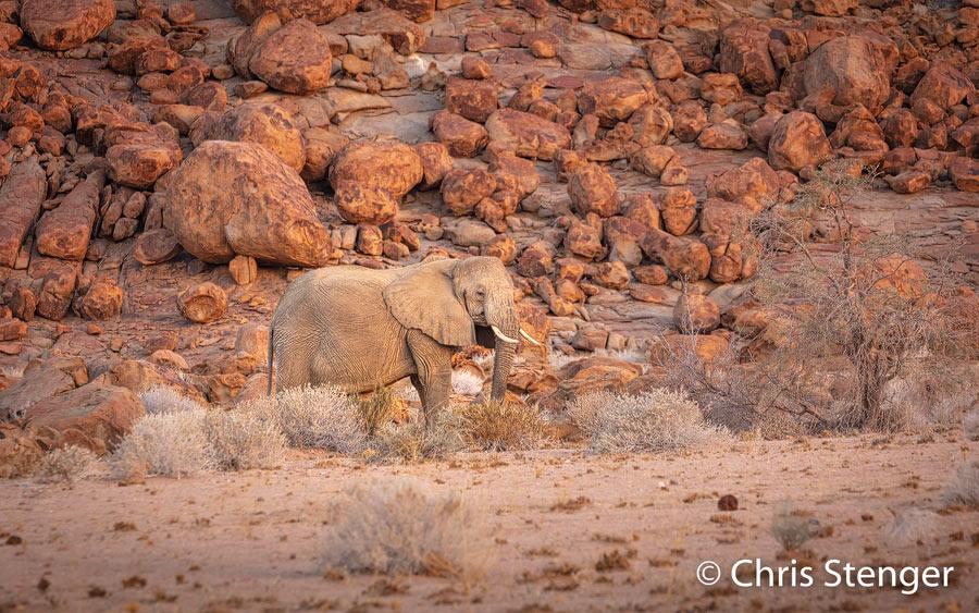 Ik maakte deze foto in Damaraland in het noordwesten van Namibië. Woestijn olifanten zijn wat kleiner dan andere olifanten, maar ze worden niet beschouwd als een afzonderlijke soort. Ze blijven kleiner dan andere olifanten omdat ze moeten (over)leven op een uiterst karig dieet van woestijn planten