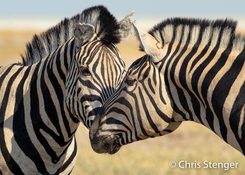 Zebra's zijn sociale dieren die in kuddes leven en met enig geduld kan je het sociale gedrag van deze dieren vastleggen