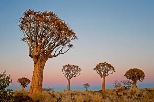 Deze foto van Kokerbomen in het zuiden van Namibië werd gemaakt door John Chamberlin waarschijnlijk in 2014