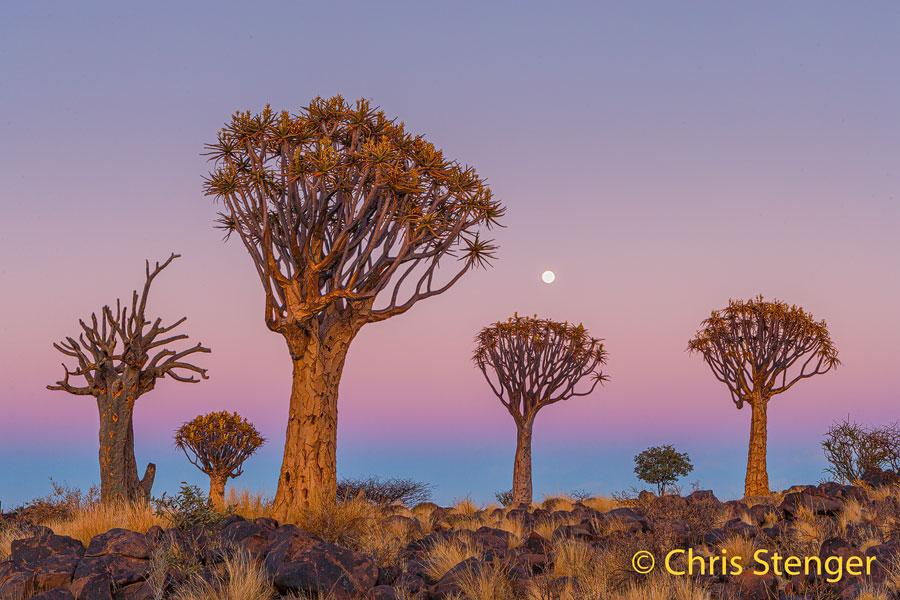 Het kokerboom woud in het zuiden van Namibië is bekend bij toeristen als de enige plaats waar een paar honderd van deze bomen bij elkaar staan