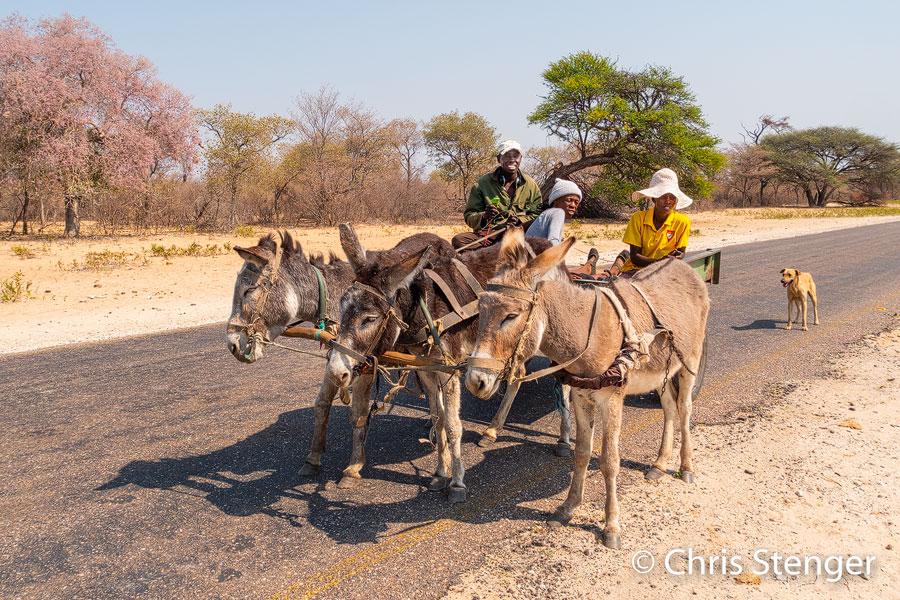 In grote delen van Botswana is een kar gertokken door ezels het standaard vervoersmiddel