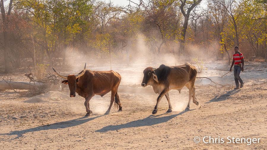 's Ochtends vroeg in half tegenlicht gefotografeerd is dit eem standaard tafereel en heel karaktersitiek voor het noorden van Namibië.