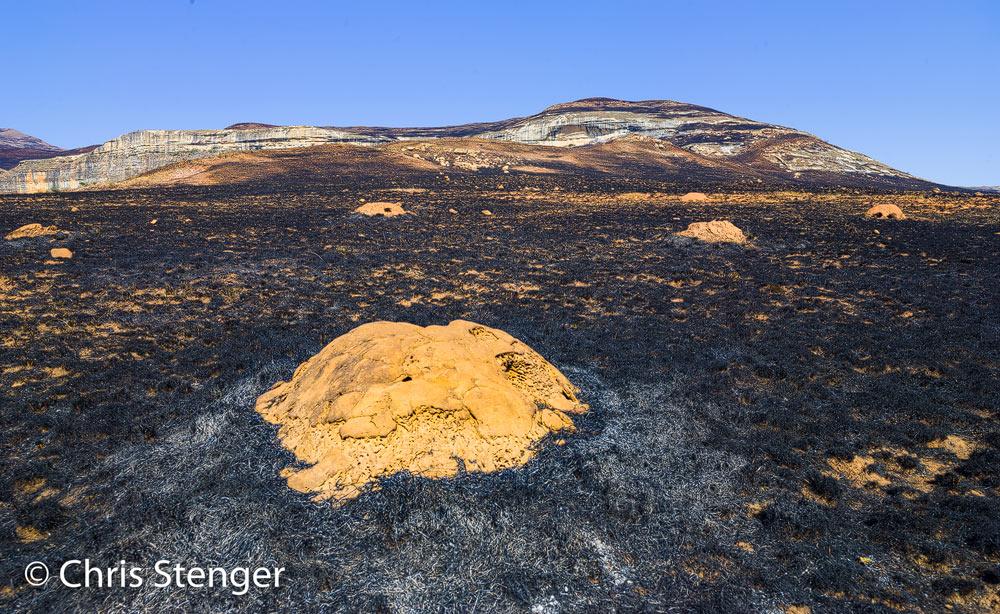 De termieten heuvels lijken de brand goed doorstaan te hebben. Zouden de bewoners het overleefd hebben?