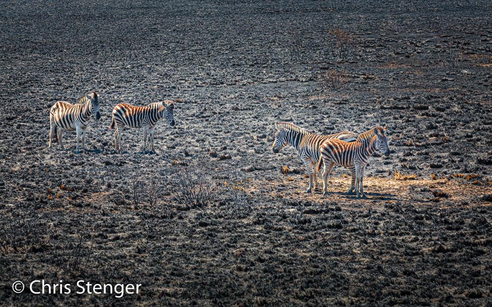 Het verhaal van de Zebra's na een brand. Een beetje beduusd staan deze Zebra's op hun afgebrande savanne te kijken. Waar is ons gras gebleven lijken ze te denken