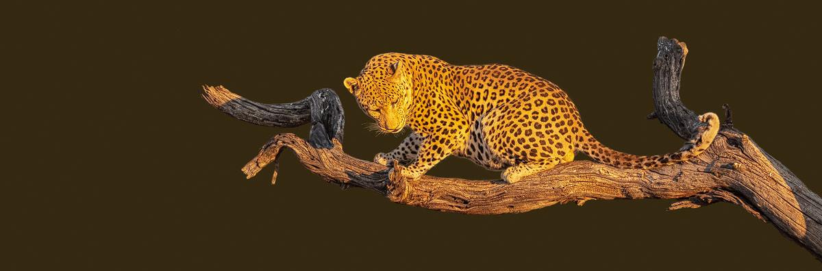 Chris Stenger Natuurfotografie, Landschapsfotografie en Reisfotografie: Luipaard op tak bij zonsopkomst