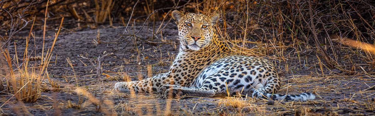 De Big Five van Afrika. Het Luipaard, hier gefotografeerd in het Moremi Game Reserve in Botswana is er één van