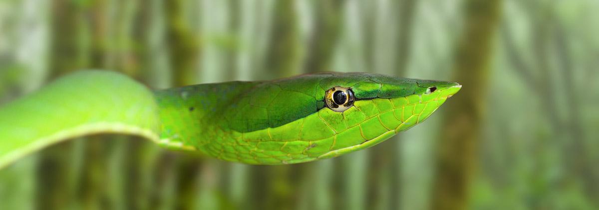 Costa Rica fotopagina Chris Stenger Natuur fotografie, Landschapsfotografie en Reisfotografie: foto van ee slang in het vochtige Nevelwoud bij Santa Elena in het centrale deel van Costa Rica