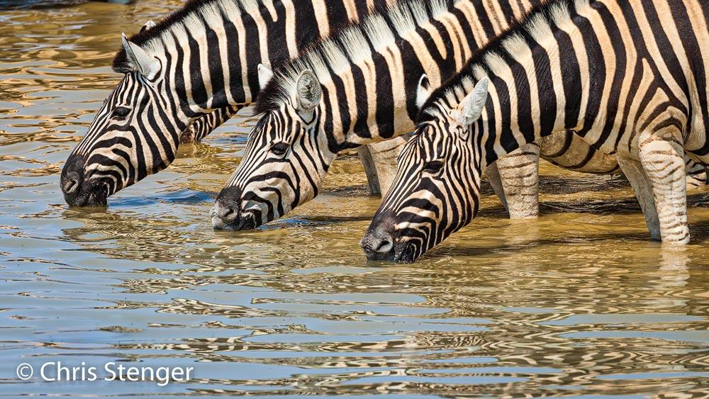 In het droge seizoen wemelt het bij waterputten in Namibië altijd van de grote grazers zoals deze Zebra's - In the dry season, water wells in Namibia are always teeming with large grazers such as these Zebras