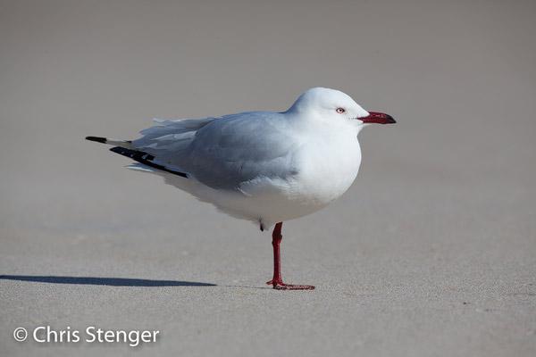 Silver gull (Chroicocephalus novaehollandiae) a photo taken on a beach in Western Australia