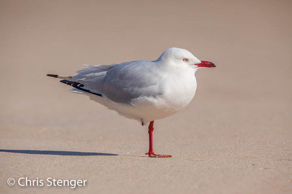 Silver gull (Chroicocephalus novaehollandiae) the photo after standard processing in Lightroom