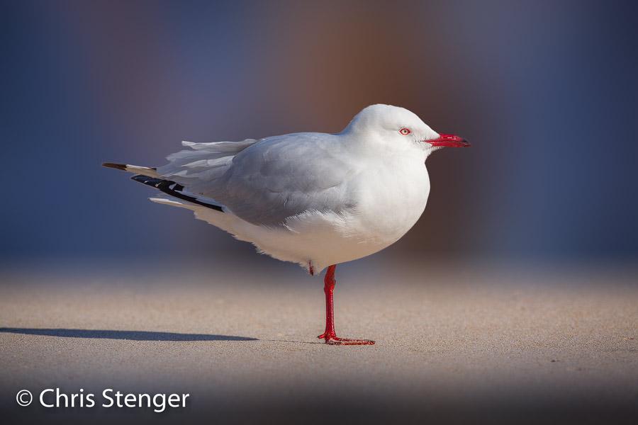 Deze Witkopmeeuw fotografeerde ik op een strand in het westen van Australië. Het is een composiet foto waarin de achtergrond werd vervangen door een textuur
