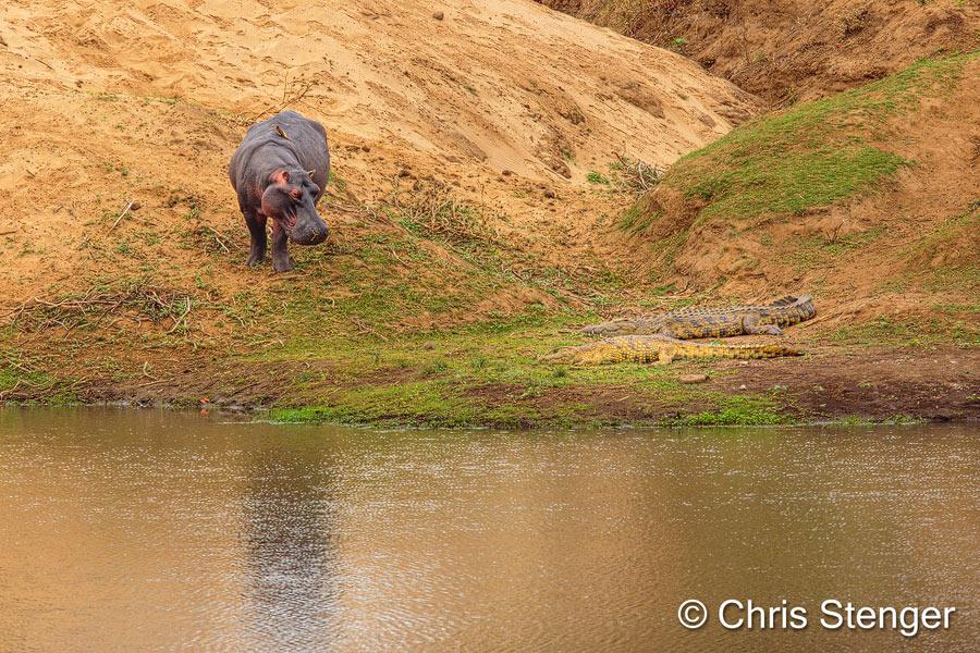 In een rivier in het Krüger park staat een Nijlpaard uren te staren naar twee slapende Krokodillen. Wat gebuert hier?