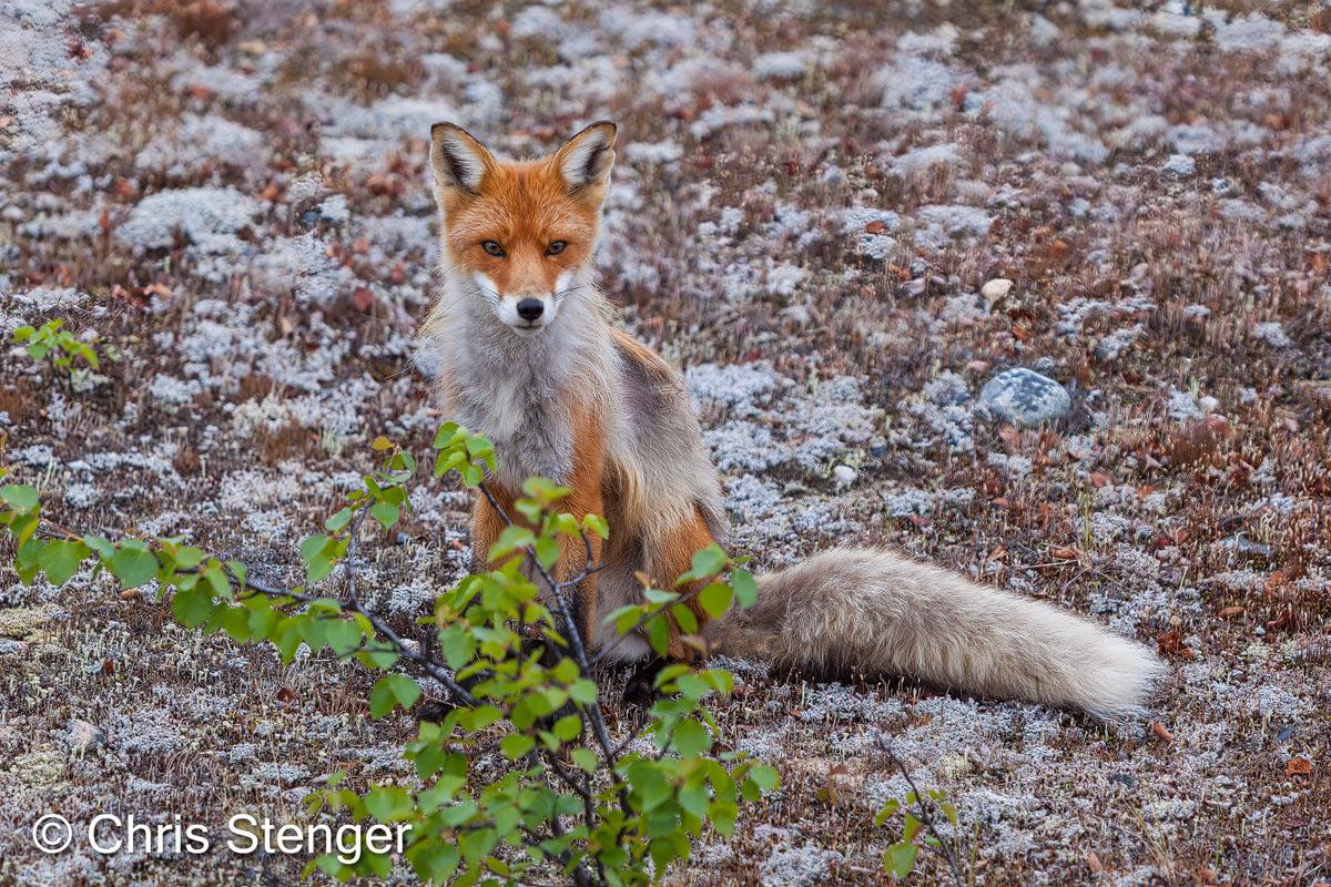 In het voorjaar fotografeerde ik deze hongerige en niewsgierige vos