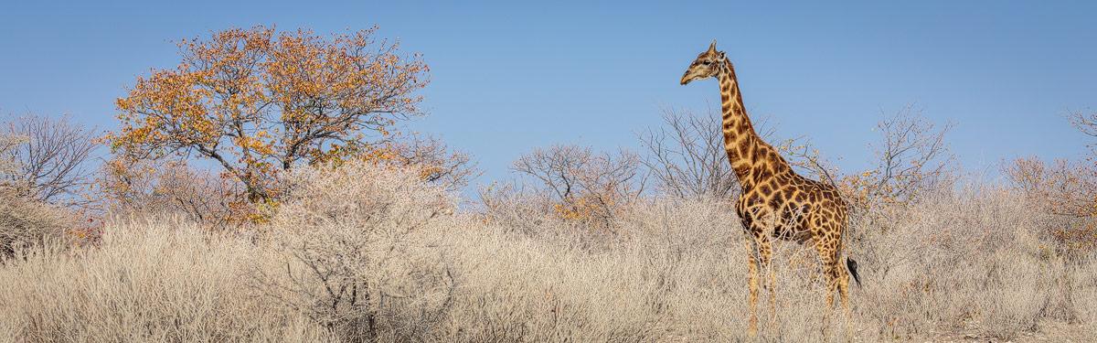 Zoogdieren in Afrika: de Giraffe is één van de vele zoogdieren die je in Afrika voor de lens kan krijgen